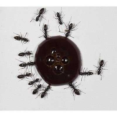 AntHouse 10ml Nectar pour Fourmis- Sirop de protéines - Protein Syrup for Queens Ants and Ants COLONYS.