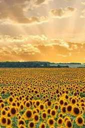 Rays of Sunlight on a Field of Yellow Sunflowers Journal: 150 Page Lined Notebook/Diary/Journal